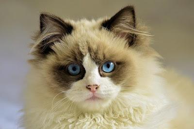Gambar kucing anggora x persia