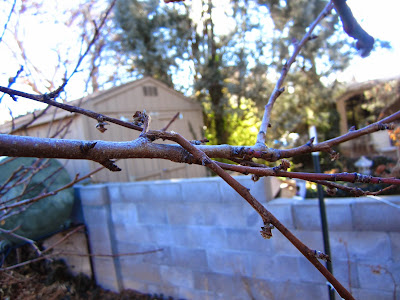 Broken Branches on a Peach Tree