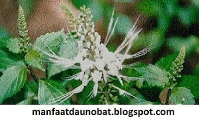 manfaat khasiat daun kumis kucing