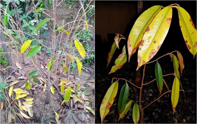 Penyebab Daun Durian Menguning dan Rontok dan Cara Mengatasinya