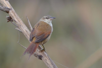Straight billed Reedhaunter