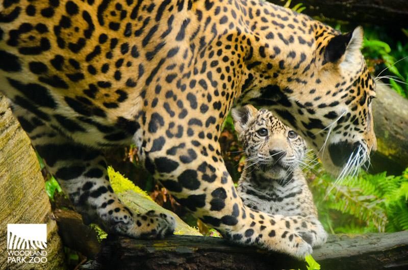 jaguars animals cubs - photo #9