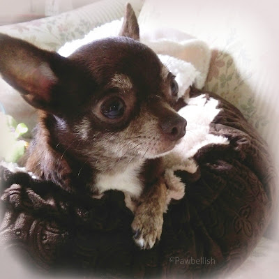 Princess Tootsie, Pawbellish model, cutest chocolate trindle Chihuahua of all time!