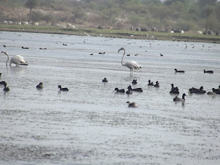 flamingo at a lake in jaipur