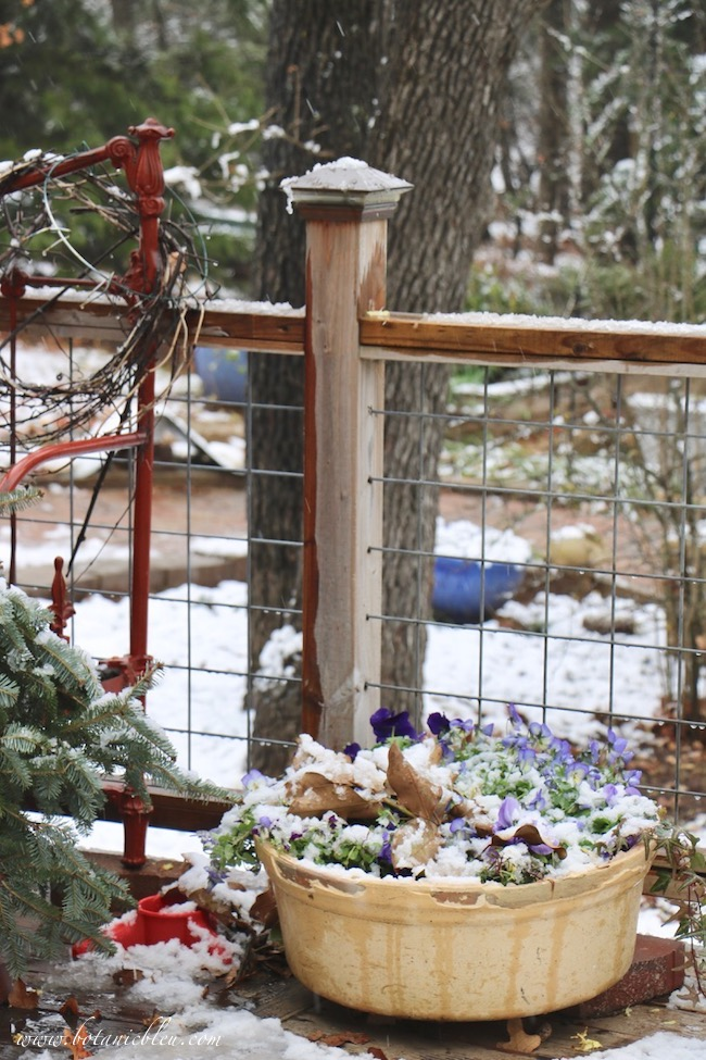 Pansies and violas in a clay pot on a deck bloom even under snow