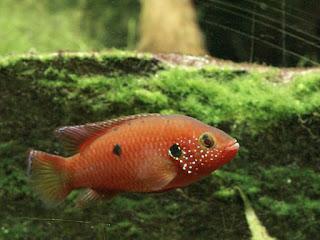 Cichlidé-joyau - Hemichromis bimaculatus - Acara rouge - Cichlidé à deux taches - Cichlidé rouge - Hémichromis à deux tâches