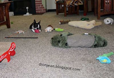 Sinead the Boston terrier in the middle of a room of toys