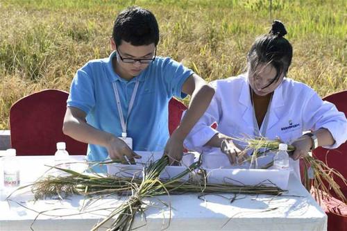 Китайцы научились выращивать рис в соленой воде