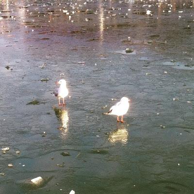 Mouettes sur le bassin gelé du Jardin du Luxembourg - Photo : Delphine R2M