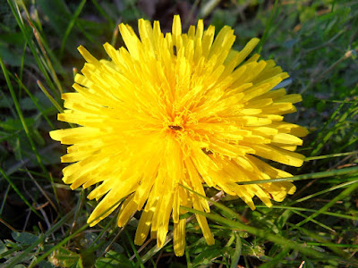 Yellow-Dandelion-With-Bugs