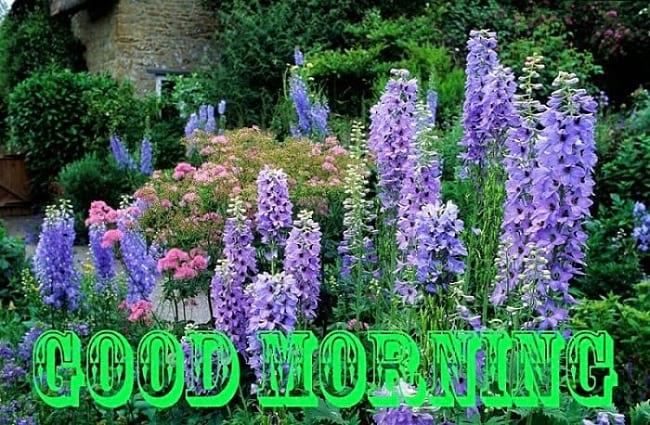 Good Morning Blessings with Delphinium Flowers