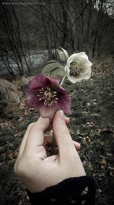 Helleborus Orientalis in bloom, Lenten Rose, Winter Roses, Mandragoreae by Victoria Francés
