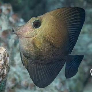 Ikan hias laut brown tang