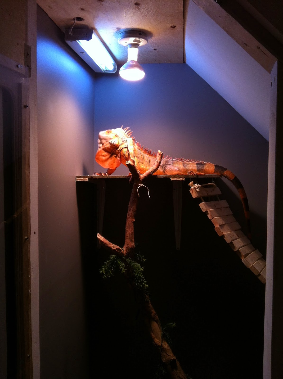 So this is the light set up that I\u0027m using for his new enclosure if you\u0027d like to learn how to easily put a built in heat fixture click & ONTARIO IGUANAS: UNDER THE STAIRS IGUANA ENCLOSURE