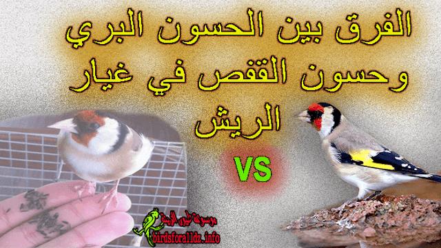 الفرق بين الحسون البري و حسون القفص في غيار الريش