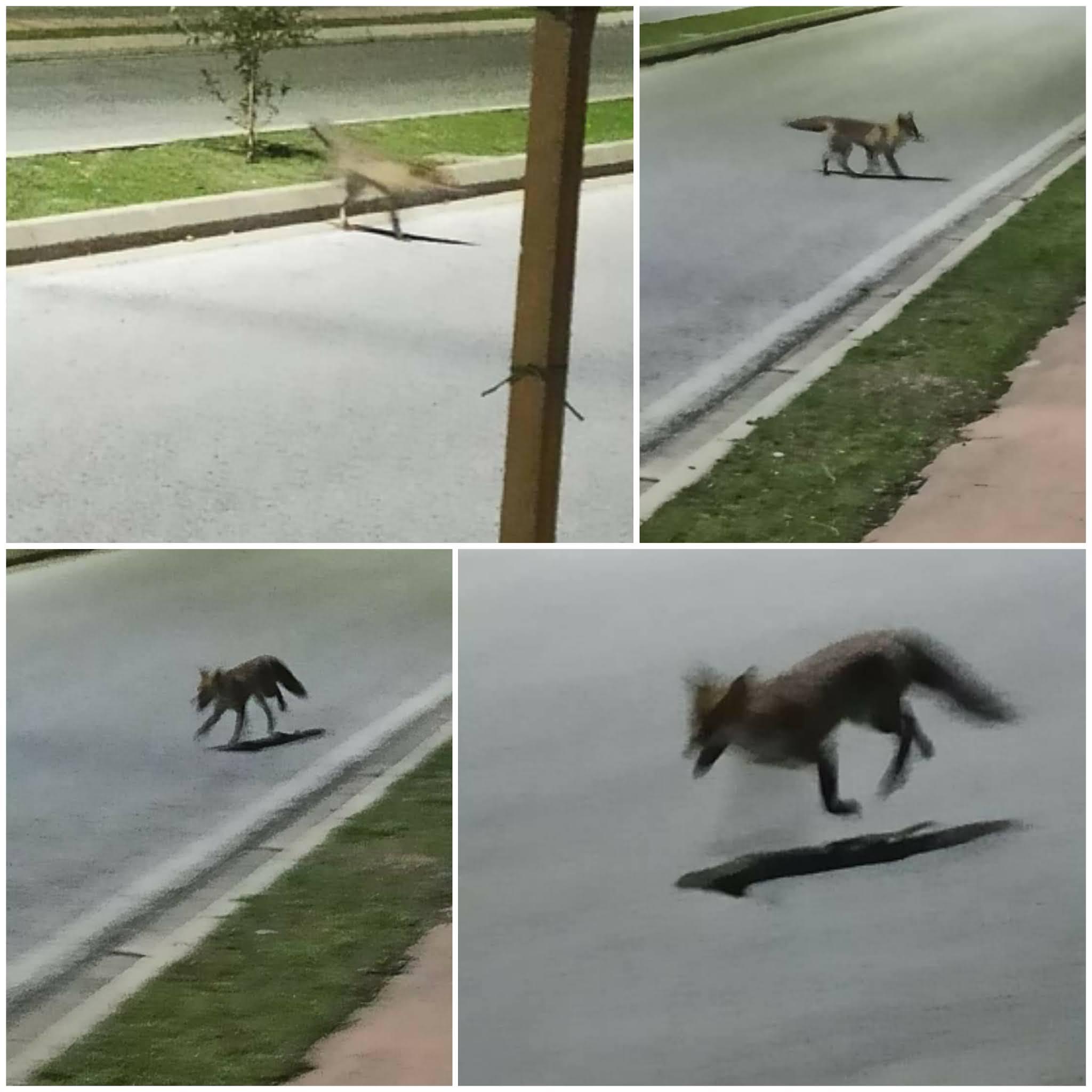Μια αλεπού σε κατοικημένη περιοχή στην Ξάνθη
