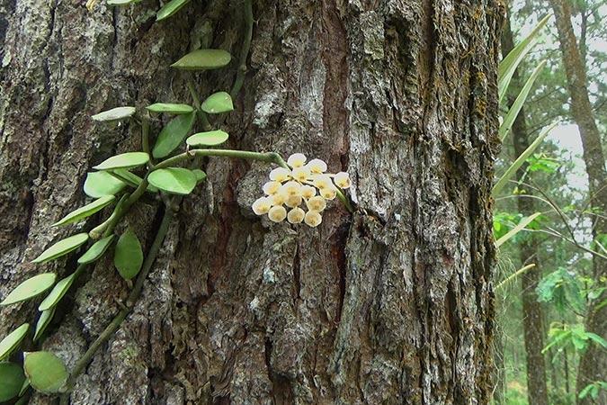 Dlium Wax flower (Hoya lacunosa)