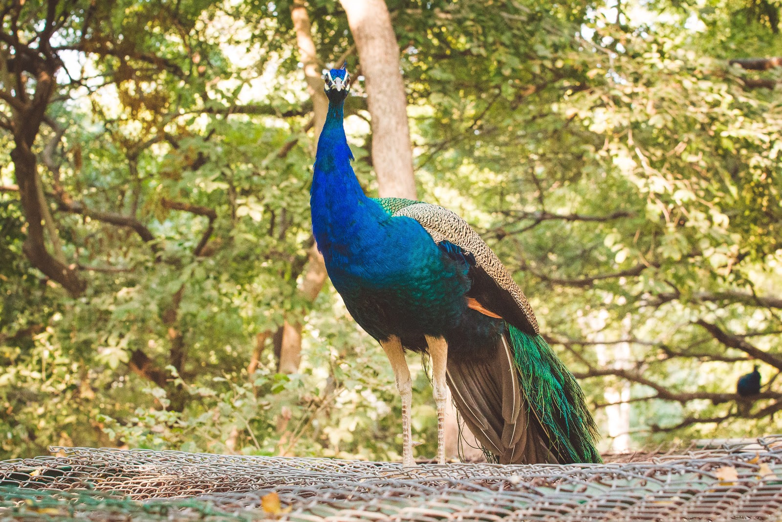 peacock-near-trees-pictures