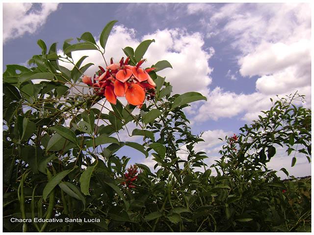 Rama con flores de Ceibo -Chacra Educativa Santa Lucía