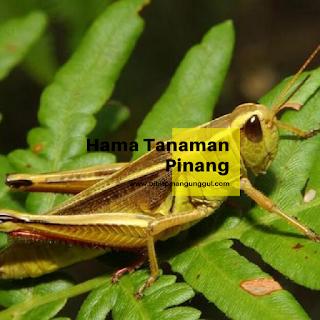http://www.bibitpinangunggul.com