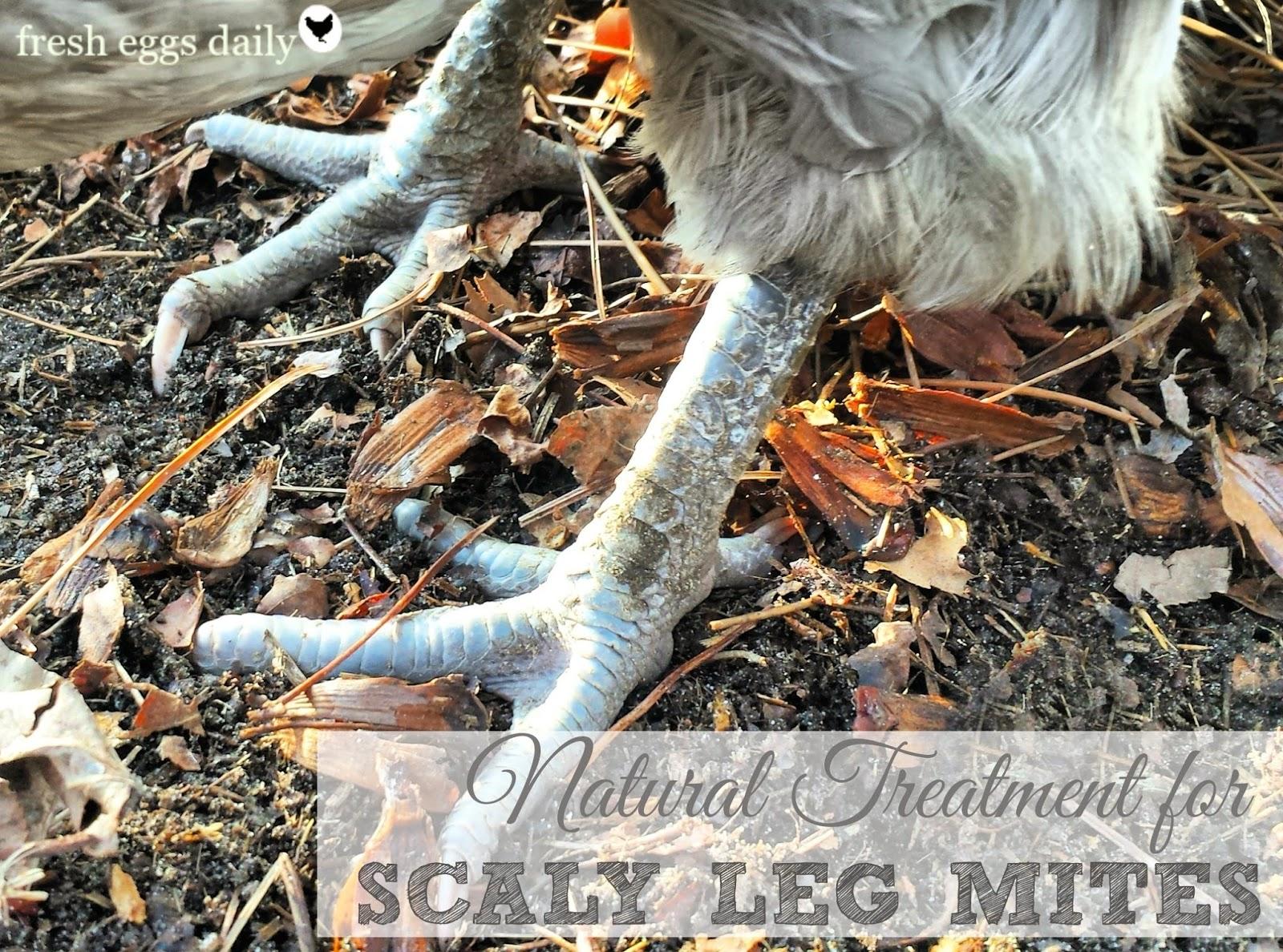 Chicken Mites Natural Treatment