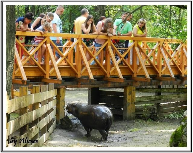 zoo-Nyiregyhaza-hipopotami
