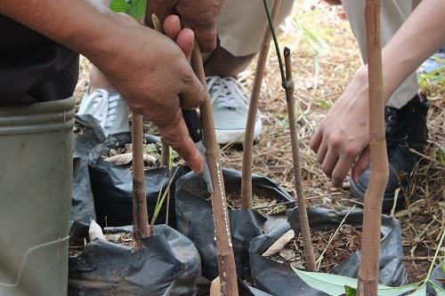 Cara Okulasi Tanaman Karet Mampir Kebun