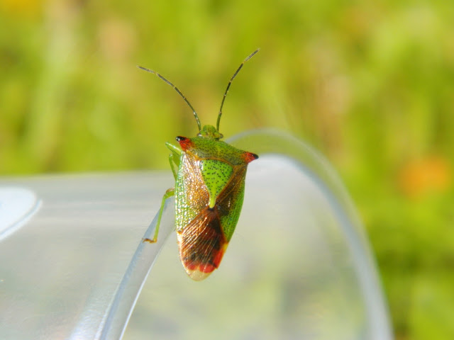 Shield Bug,