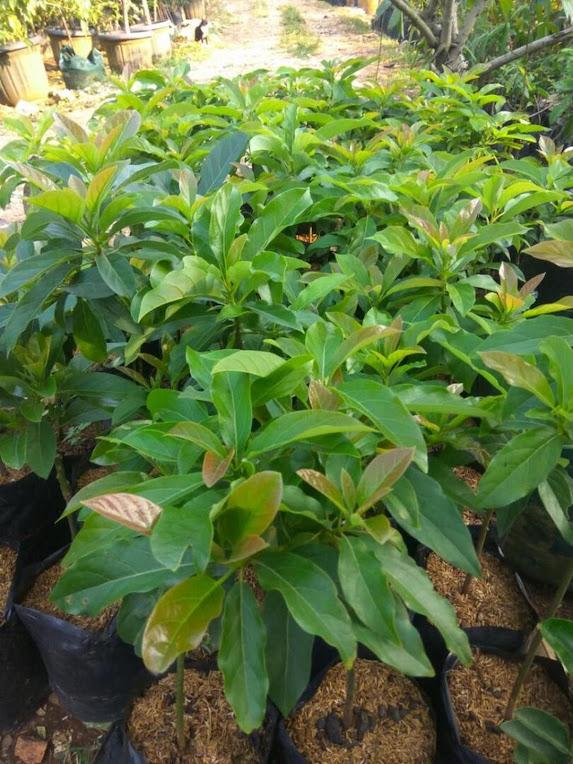 Terpercaya Bibit tanaman alpukat miki hasil okulasi Jkt Serang