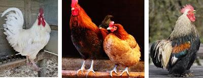 keanekaragaman hayati tingkat gen, macam-macam ayam, jenis-jenis ayam