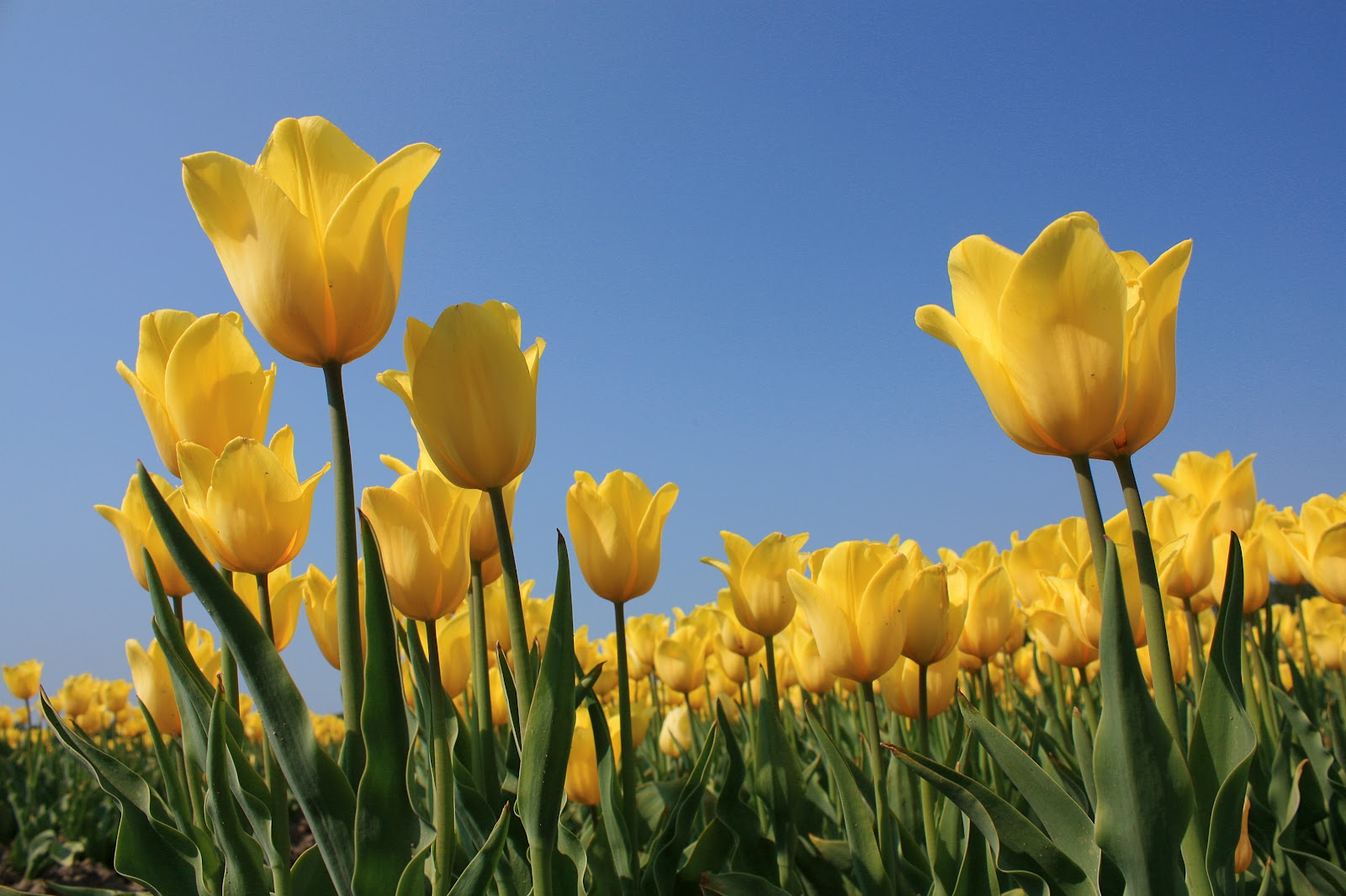 Cute Godly Wallpapers Skagit Valley Tulip Festival Tulips Festival Yellow
