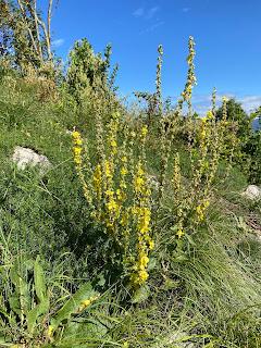 [Scrophulariaceae] Verbascum sp. – Mullein (Verbasco)