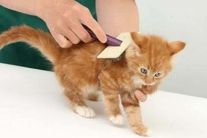 Waspadai Dampak Kutu Kucing Pada Manusia