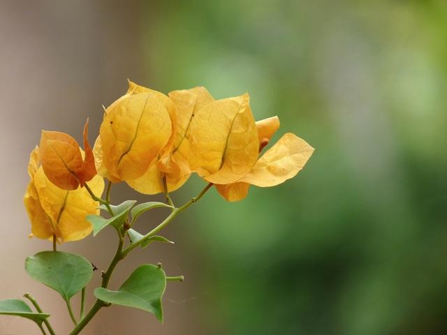 hoa giay dep nhat 4