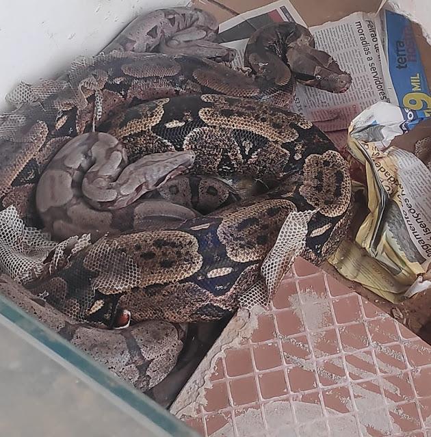Polícia Ambiental apreende cinco serpentes exóticas criadas sem autorização em residência