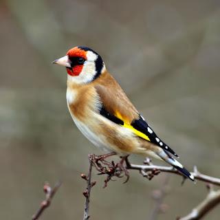 صور طائر الحسون , اجمل صور لطائر الحسون , صور عصفور الحسون