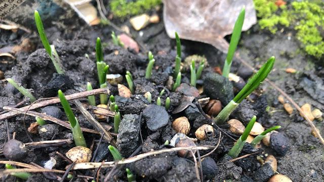 wild garlic leaves pushing up through soil