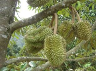 cara bertanam buah durian di pekarangan
