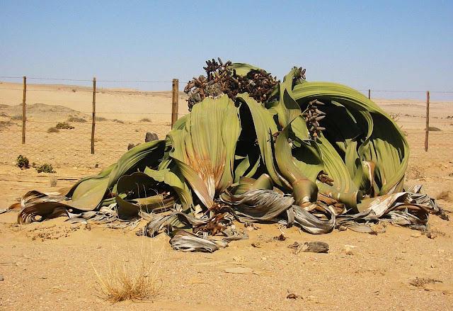 Welwitschia mirabilis, a planta mais resistente do mundo