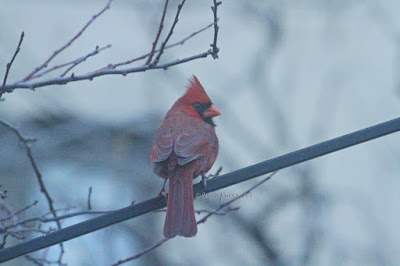 "This image features a male cardinal perched on a metal rod. Bare branches are behind it. He is staring very intently at something  unbeknownst to me, but whatever he sees might be making him uncomfortable, as his crest is slightly raised. This bird type is featured in my three volume book series, ""Words In Our Beak.""  Information is in another post within this blog @https://www.thelastleafgardener.com/2018/10/one-sheet-book-series-info.html"
