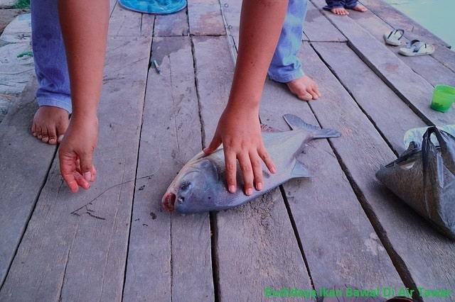 Budidaya ikan bawal di air tawar