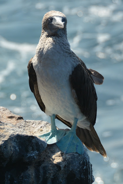 South Plaza Island blue footed boobie close