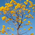 A seca traz a beleza dos ipês amarelos às ruas de Samambaia