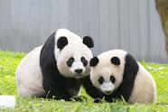 Mei Xiang and her cub Xiao Qi Ji