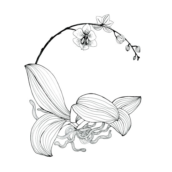 orchid sketch, orchid drawing, phalaenopsis, black and white art, Anne Butera, My Giant Strawberry