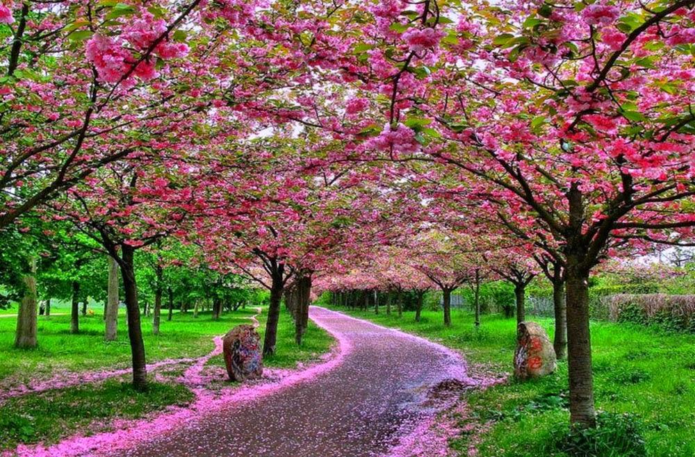 bunga sakura cantik menawan
