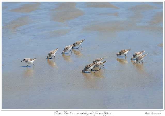 Crane Beach: ... a return point for sandpipers...