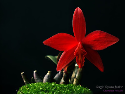 Orquídea vermelha Sl. Jinn