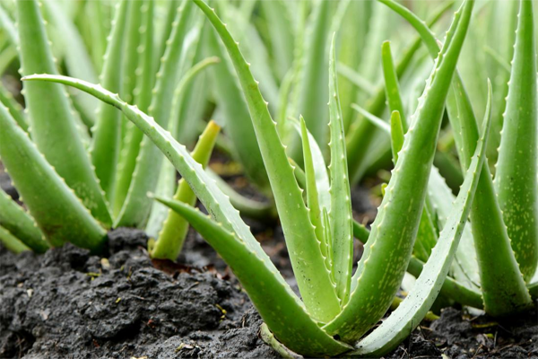 Health, Lifestyle & Fashion, Kerala, News, Health benefits of aloe vera