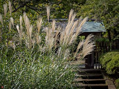 Takanoha-susuki (zebra grass): Jochi-ji